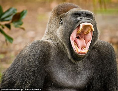 open wide see how a gorilla visits the dentist abc news a human can beat a silver back gorilla in a fight with his