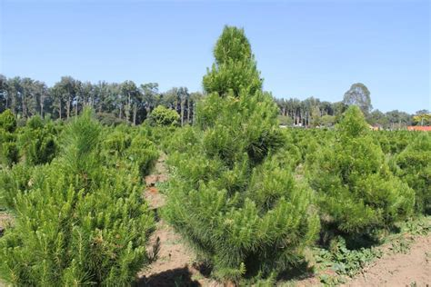 best 28 real christmas trees central coast trees
