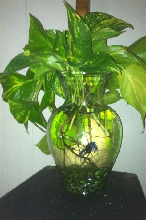 beta bowl  ivy fish bowl bowl glass vase