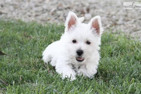 westie puppies for sale near me west highland white terrier westie puppy for sale near st joseph missouri