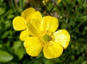 flower images bulbous buttercup flower photo