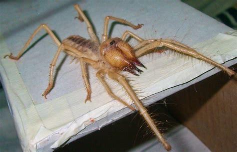 spider web photos weneedfun camel spider pictures weneedfun