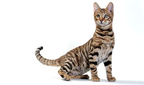 Toyger   **Cute Animals**   Pinterest