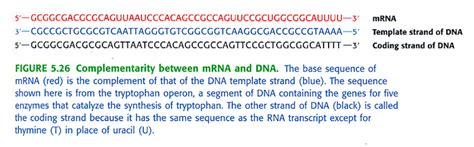difference between template and coding strand molecular biology overview and central dogma studyblue