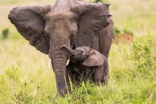 Zimbabwe defends decision to take baby elephants from their mothers
