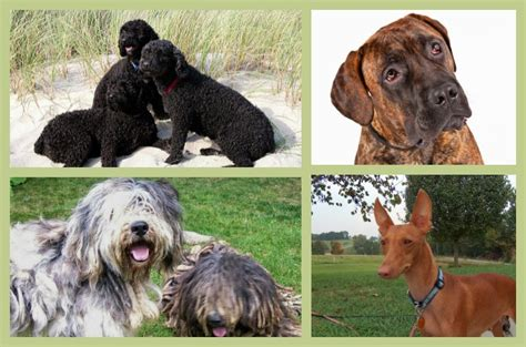 american kennel club breeds american kennel club adds 4 breeds to its ranks
