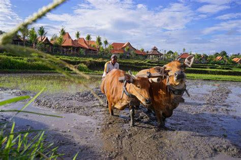 Tumpek Kandang Buku Bali Hindu 30 april 2016 tumpek kandang alpha hotel management