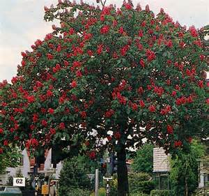 Aesculus pavia red horse chestnut redbloom 5 6
