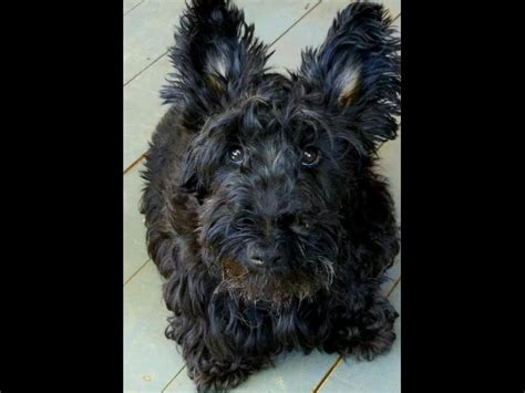 akc scottish terrier puppies for sale scottish terrier for sale by american kennel club