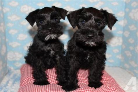 miniature schnauzer puppies for sale in california miniature schnauzer puppies akc for sale in california classified