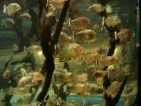 Facts about piranha: piranha fish