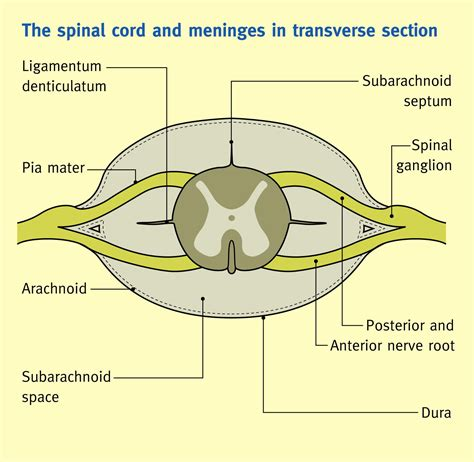 spinal cord transverse section the spinal cord and its membranes anaesthesia
