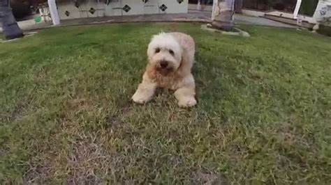 mini goldendoodle michigan mini goldendoodle puppy playtime