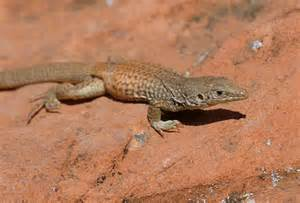Types Of Reptiles List Unknown species of whiptail