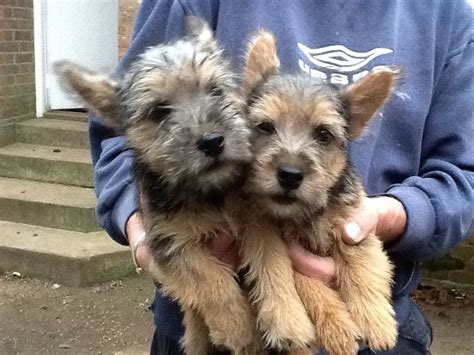 norwich terrier puppies for sale norwich terrier puppies for sale thetford norfolk pets4homes