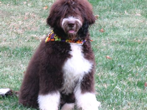 newfiedoodle puppies newfie doodle images frompo 1