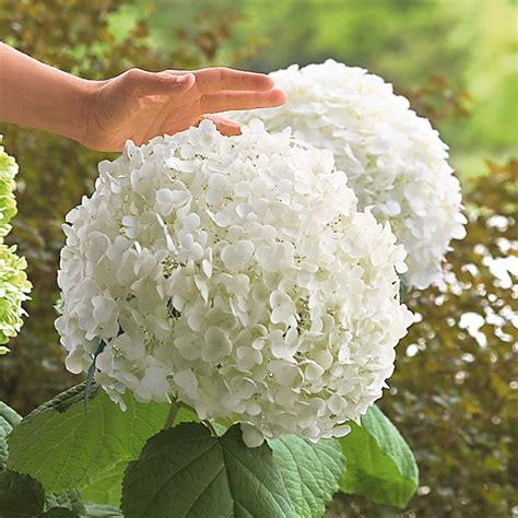 Blumen Für Den Garten Bestellen 1 by Riesen Garten Hortensie 174 Kaufen Bei