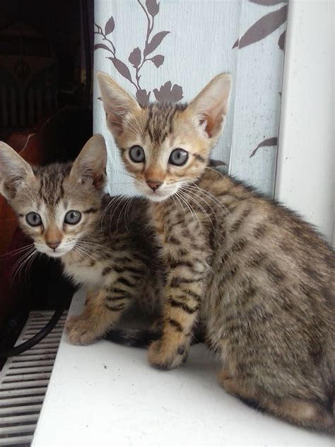 cats for sale plymouth serengeti kitten available now plymouth pets4homes