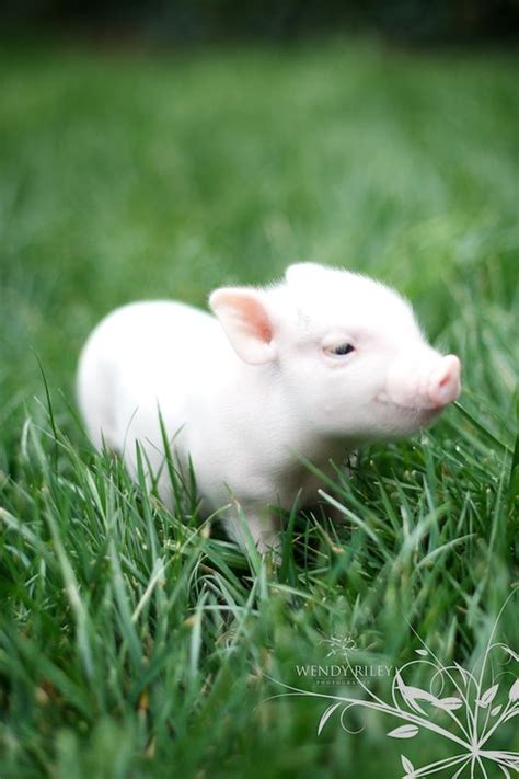baby pot belly pig barn yard friends pinterest