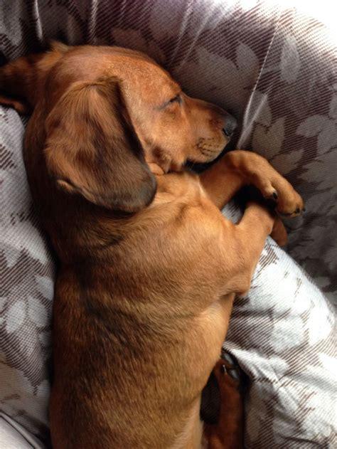 beagle dachshund mix puppies dachshund beagle mix mozart sleeping like an cuddly an