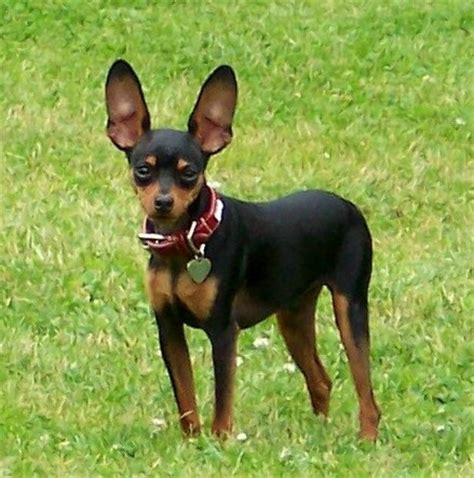 mini pinscher miniature pinscher photos pictures miniature pinschers page 2