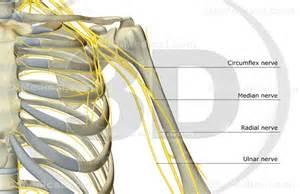 3d medical image the nerves of the shoulder high end medical