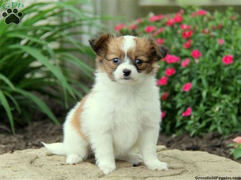 papillon puppies for sale in pa 25 best ideas about papillon puppies for sale on papillon papillon