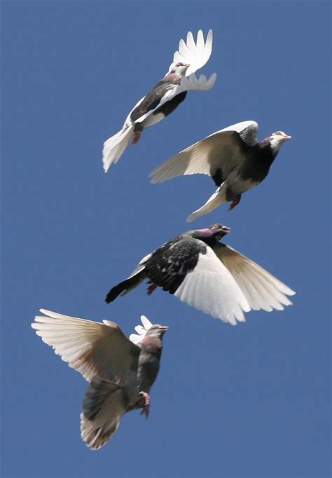 pigeon power dynamic wings improve capabilities bio