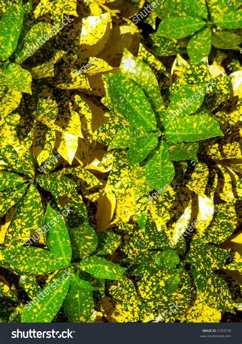 Sprei Green Borneo borneo greenyellow leaf plant stock photo 2703739