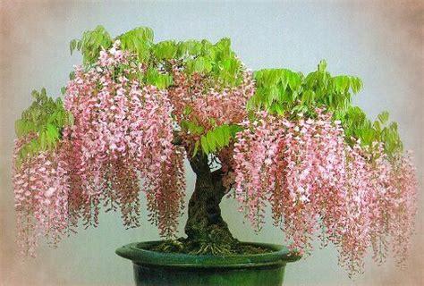 Pohon Ginseng image gallery wisteria bonsai