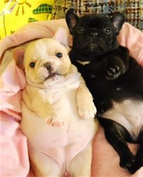 do french bulldogs need c sections 1000 images about cute animals on pinterest pug baby