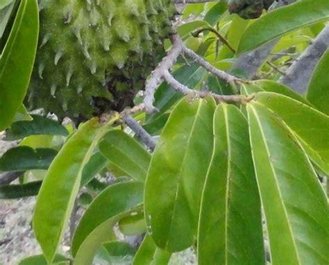 tanaman obat asam urat  ampuh taman inspirasi safa