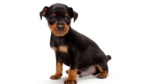 average price for pitbull puppies miniature pinscher breed information