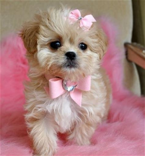 princess puppies tiny peekapoo puppy adorable golden princess sold moving to new york toddler