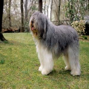 belgian sheepdog adoption gallery for gt sheepdog mix breeds