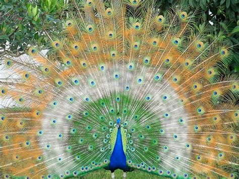 desktop nature wallpaper indian blue peacock free desktop birds peacock images free download