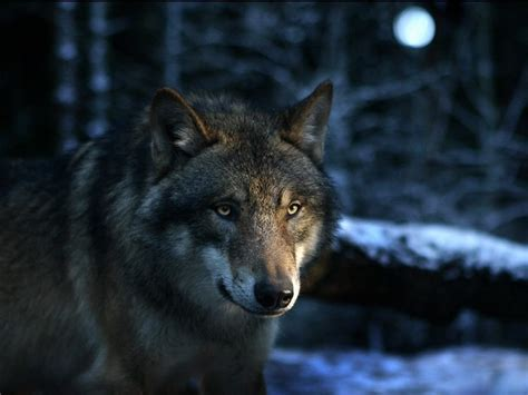 imagenes de lobos en 4k imagenes de lobos para fondo de pantalla con frases