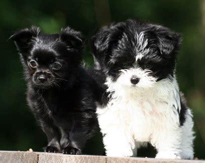 mi ki puppies mi ki no shedding breed dogs great companions