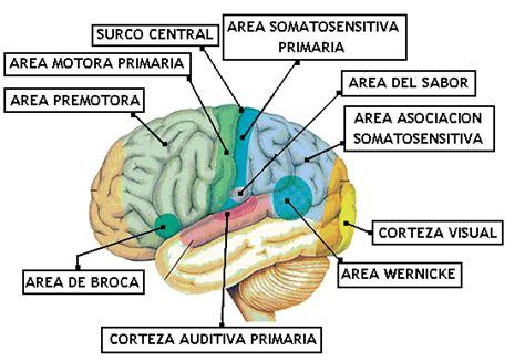 imagenes neuroanatomia pdf 10 clase de neuroanatomia 2006