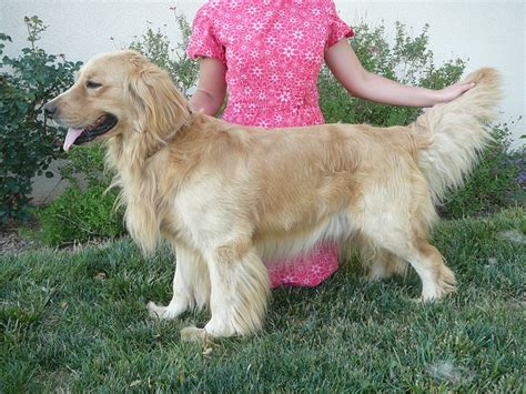 golden retriever x dachshund golden dox golden retriever x dachshund mix info puppies pictures