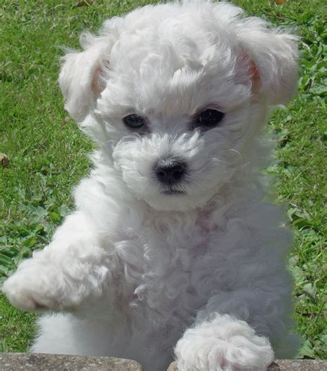 bichon puppies cambeas bichon frise bichon frise invitations ideas