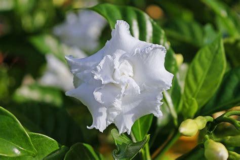 gardenia fiore gardenia come coltivare in casa questa pianta dai fiori