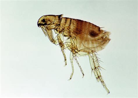 dogs and fleas dogs and fleas the cycle and dangers of fleas