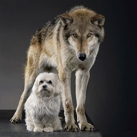 evolution of dogs evolution of dogs www pixshark images galleries with a bite