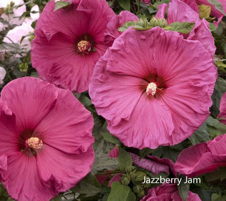 cottage farms hibiscus cottage farms treat trio perennial hibiscus page 1 qvc