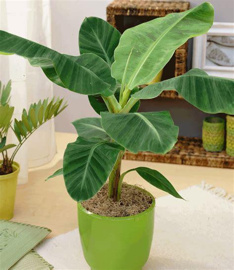 Baldur Garten Winterharte Pflanzen by Japanische Faserbanane Winterhart 1a Pflanzen Baldur