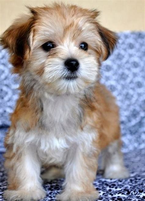 maltese yorkie grown the gallery for gt white morkie puppies
