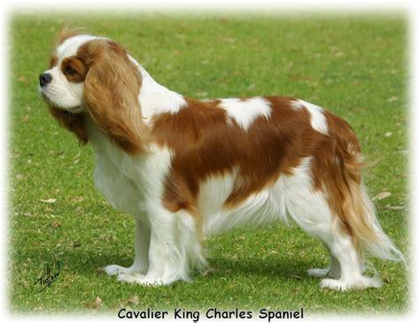 cavalier king charles spaniel 9j001d 06jpg cavalier
