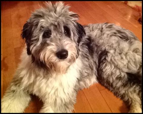 doodle name ari my puppy aussiedoodle at 1 yr poodle mix for the