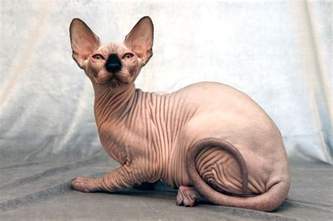 hairless breeds 6 strange breeds of hairless cats featured creature